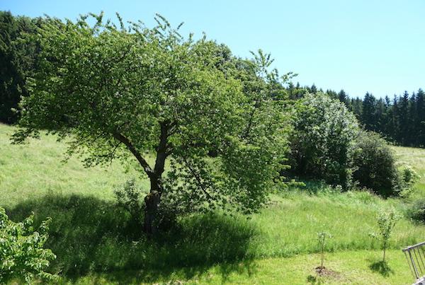 Berghang mit Kirschbaum und Waldrand im Hintergrund